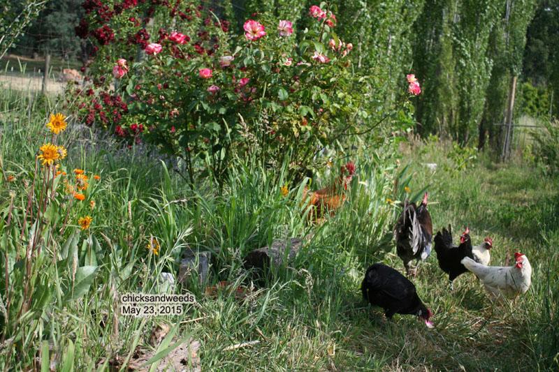 chicks_20150523_7552