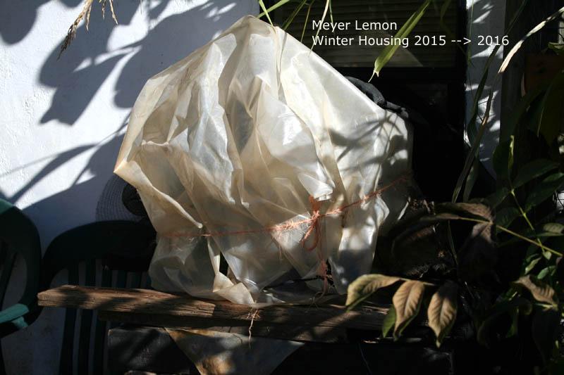 meyer-lemon-housing2015-november_1237