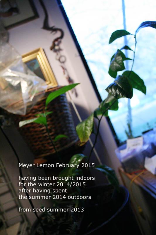 meyer-lemon-indoors-2012-february_5194